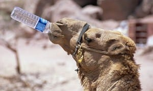 Camel-drinking-water-006
